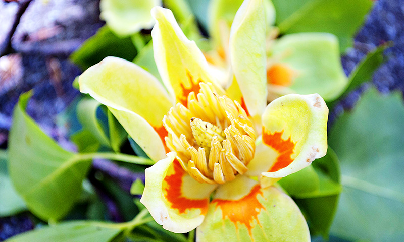 Tuliptree Flower in Fernbank Forest at Fernbank Museum in Atlanta